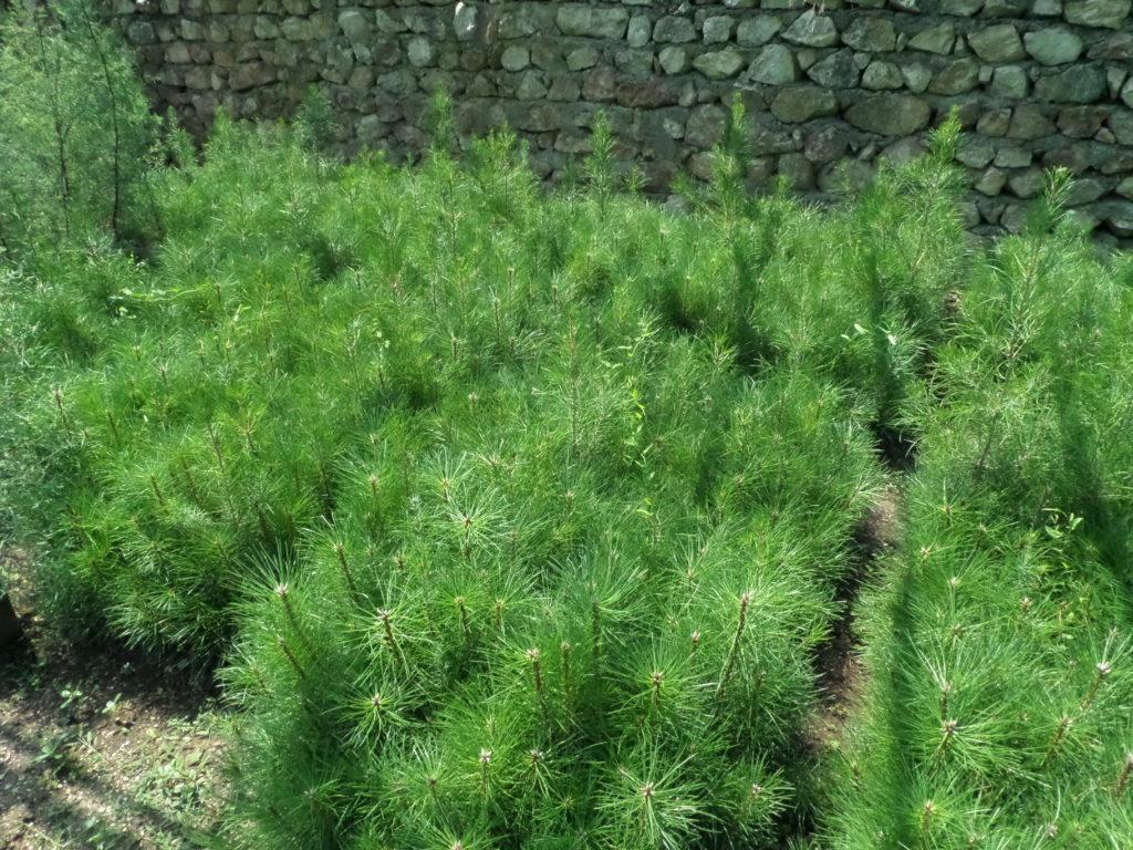 «Севастопольский лесхоз» готовит посадочный материал