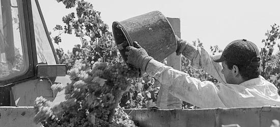 В Севастополе собрано более 10 тысяч тонн винограда