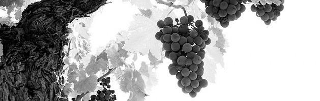 Собран первый урожай с молодых виноградников, заложенных в 2015 году
