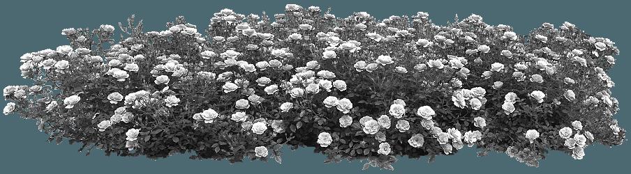 Севастополь украсят розами
