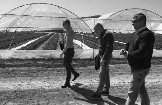 Собирать клубнику в Севастополе начнут уже 15 апреля