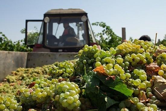 виноградники в Севастополе