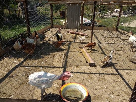 Вакцинация домашней птицы против болезни Ньюкасла