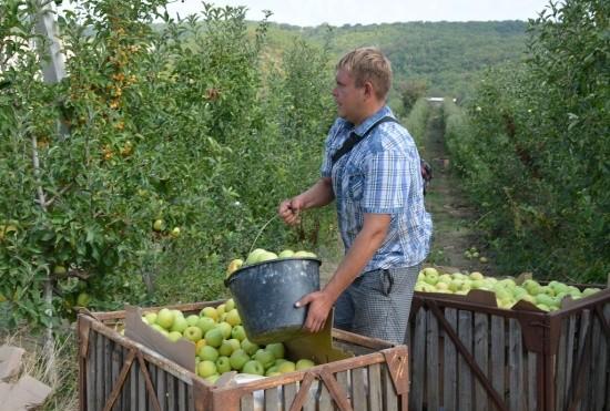 В Севастополе началась уборка яблок