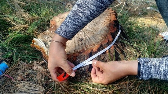 Ущерб от незаконной рубки сосен составил более 20 тысяч рублей
