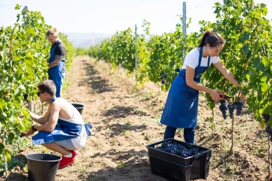 «Золотая Балка» по итогам уборки винограда показала лучшие результаты за 10 лет