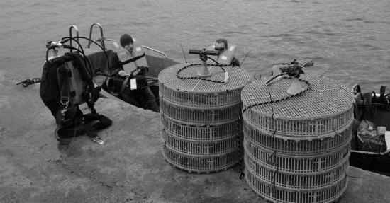 Севастопольские предприятия аквакультуры проводят зарыбление участков