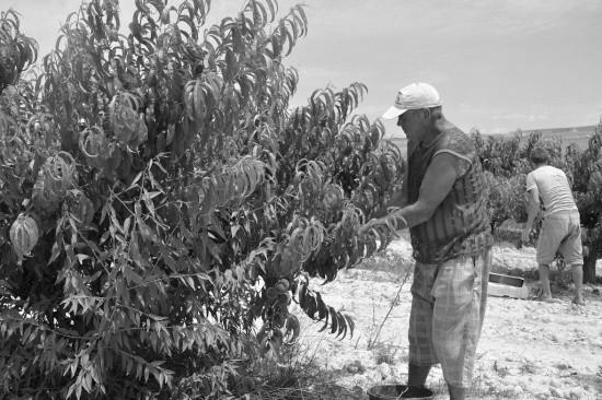 На аграрных предприятиях Севастополя идет сбор урожая персиков