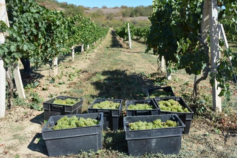 На виноградниках Севастополя идет уборка урожая